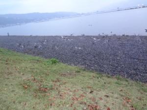 湖岸の芝生のあらゆる場所に沢山のカモ達。カメラを構えたら飛び立ってしまいました・・・